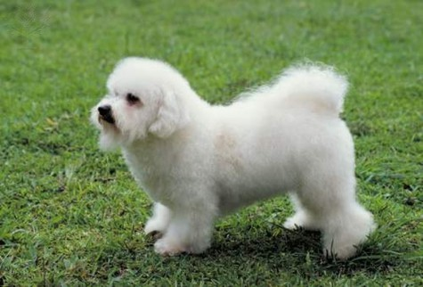 A bichon frise, the type of dog that Hank is, sits in the grass. Hank the Dog looks forward to his sophomore season with the Brewers. Photo provided by Brittanica Image Quest